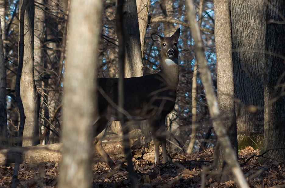 IMG4988_deer_woods.jpg